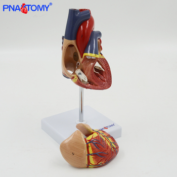 Life size human heart model anatomical model medical organ teaching model medical science teaching resources dongyun brand human pancreas spleen anatomical model teaching supplies