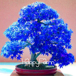 Bonsai Plantas Balcony Rare Japanese Ghost Lowest-Price Maple Blue Home-Garden Real