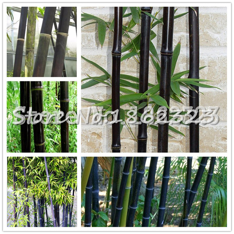 Hot Sale! 100 PCS Black Bamboo Phyllostachys Pubescens Rare Giant Bamboo Bonsai Bambusa Lako Tree For Home Garden Plant