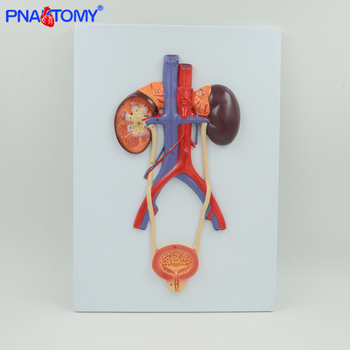 Life size human urinary system model left and right kidney bladder artery and vein blood vessel anatomical relief model medical anatomic model of kidney pathological model of kidney