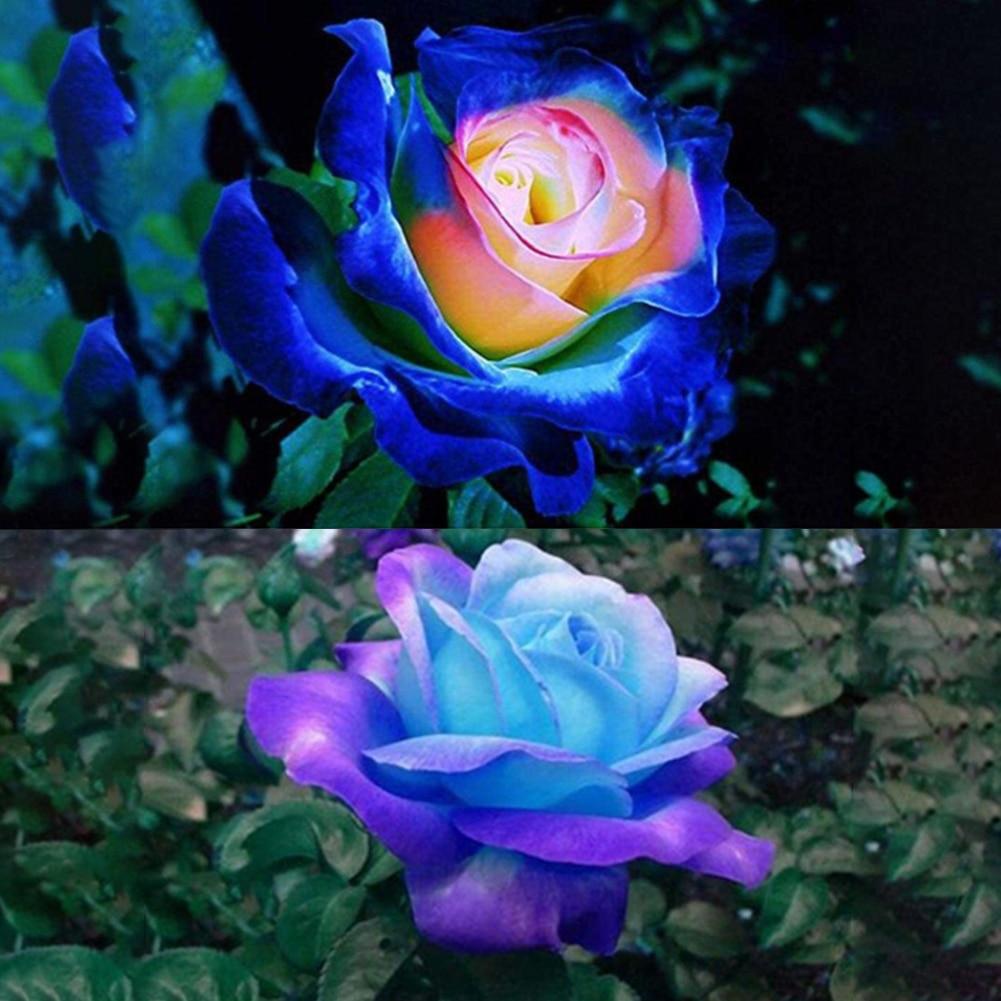 50pcs Rose Seeds Blue Pink Flower Bonsai Plants DIY Home Garden Supplies