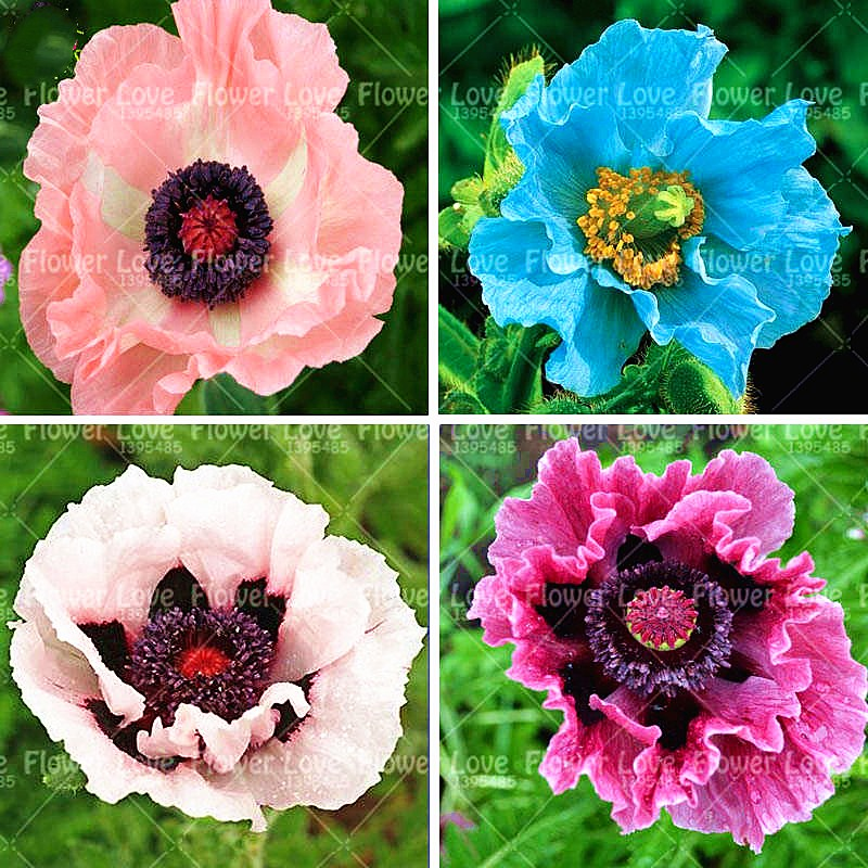 200pcs Poppy FlowerPotted