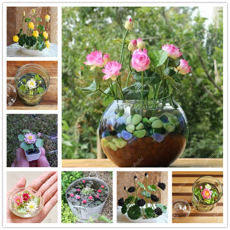 Big Promotion! 5 Pcs Bowl Lotus Bonsai Hydroponic Plants Aquatic Plants Flower Bonsai Pot Lotus Water Lily Plant Bonsai Garden
