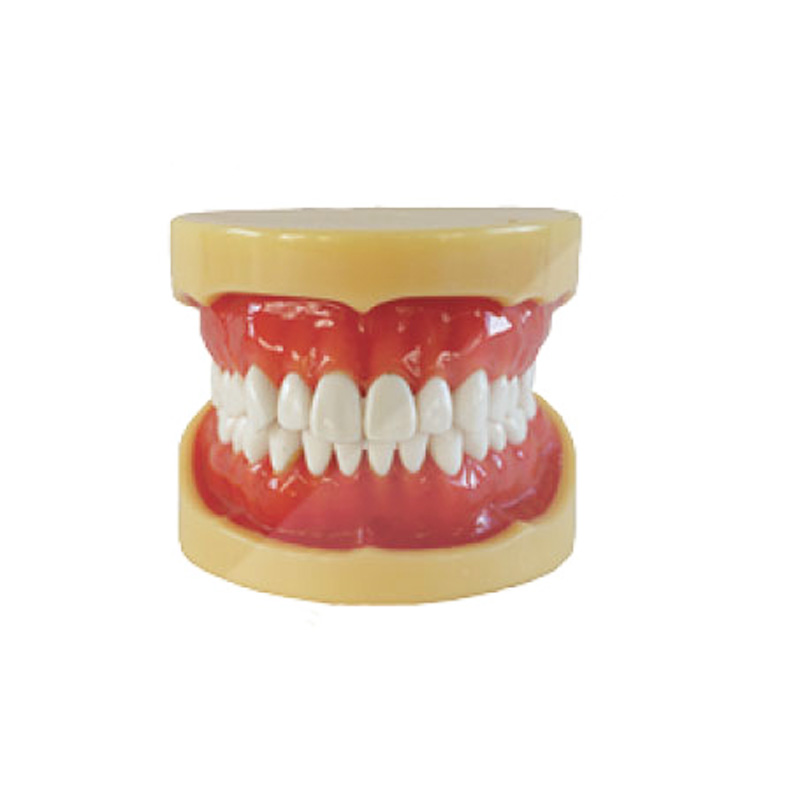 1pc Removable Model,28pcs,Hard Gum,teeth Models Teeth Jaw Models For Dental School Teaching Dentist Dental Teeth Models