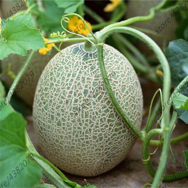 Cantaloupe 20