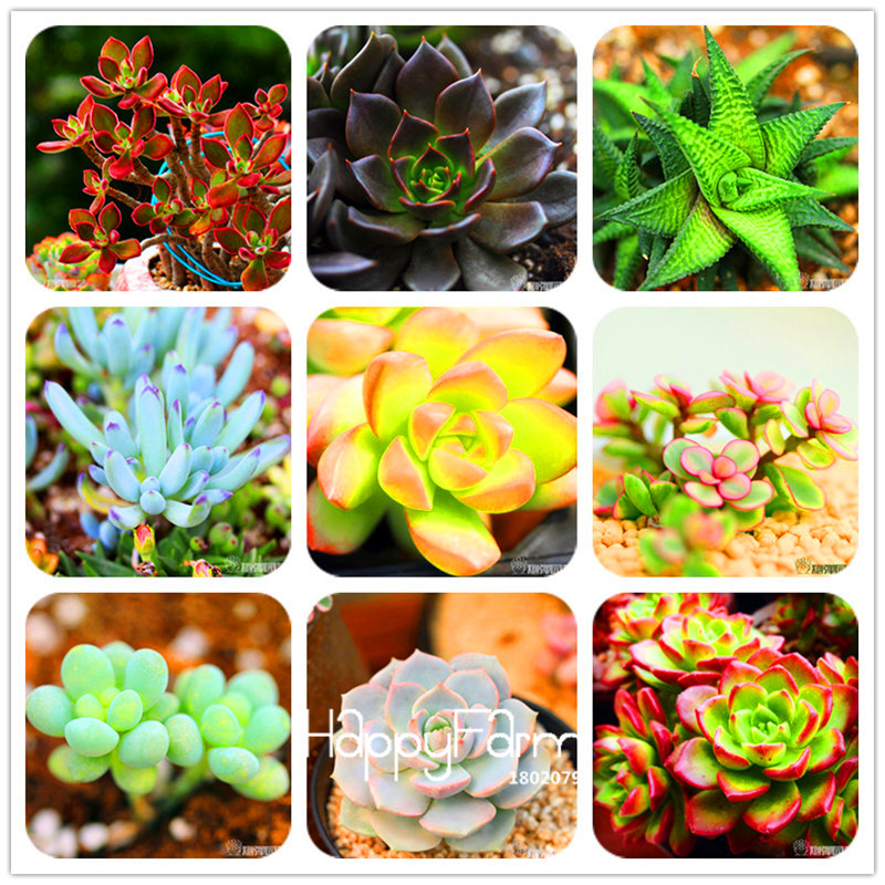 New Arrival!100pcs/Lot 99 Kinds To Choose Lithops Garden Succulents Plant Pseudotruncatella Office Bonsai Flower Flores,#WHG0J6