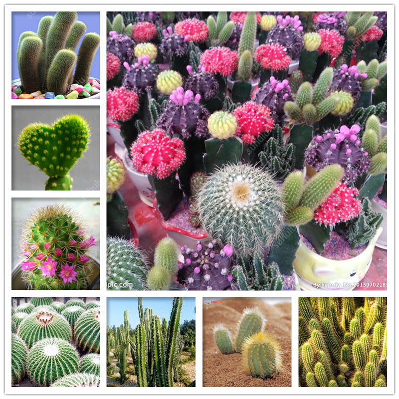200 Pcs/bag Mixed Cactus Bonsai Plants Colorful Succulents Flower Perennial Planting Potted For Home Garden Radiation Absorption