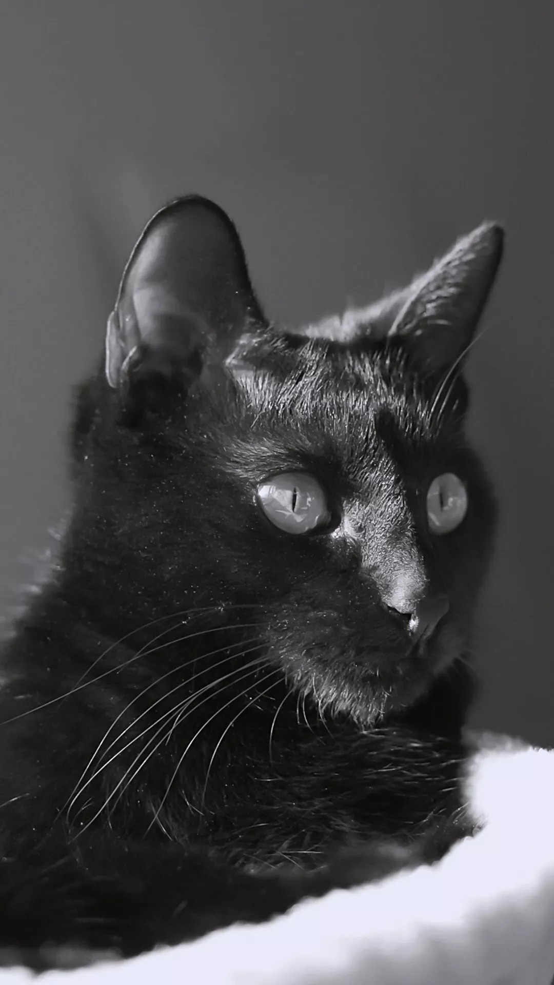 猫片壁纸:猫咪(黑猫图片)插图13