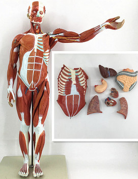 80CM Human Body Muscle with Internal Organ Model Muscle and nternal Organ Anatomy Model  Muscle Distribution Medical Teaching hand 4d master puzzle assembling toy human body organ anatomical model medical teaching model