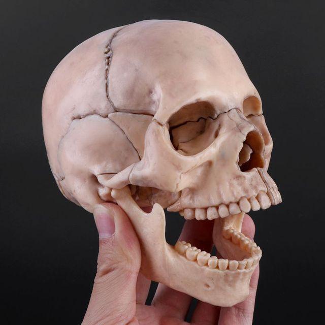 Herramienta de enseñanza médica desmontable, modelo de calavera anatómica 4D, 15 unidades