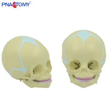 1:1 Human Fetal Baby Infant Medical Skull Anatomical Skeleton Model Medical Science Teaching Supplies dongyun brand human pancreas spleen anatomical model teaching supplies