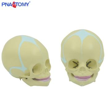 1:1 Human Fetal Baby Infant Medical Skull Anatomical Skeleton Model Medical Science Teaching Supplies 1 1 human anatomical stereo urinary system organ viscera medical teach model school hospital