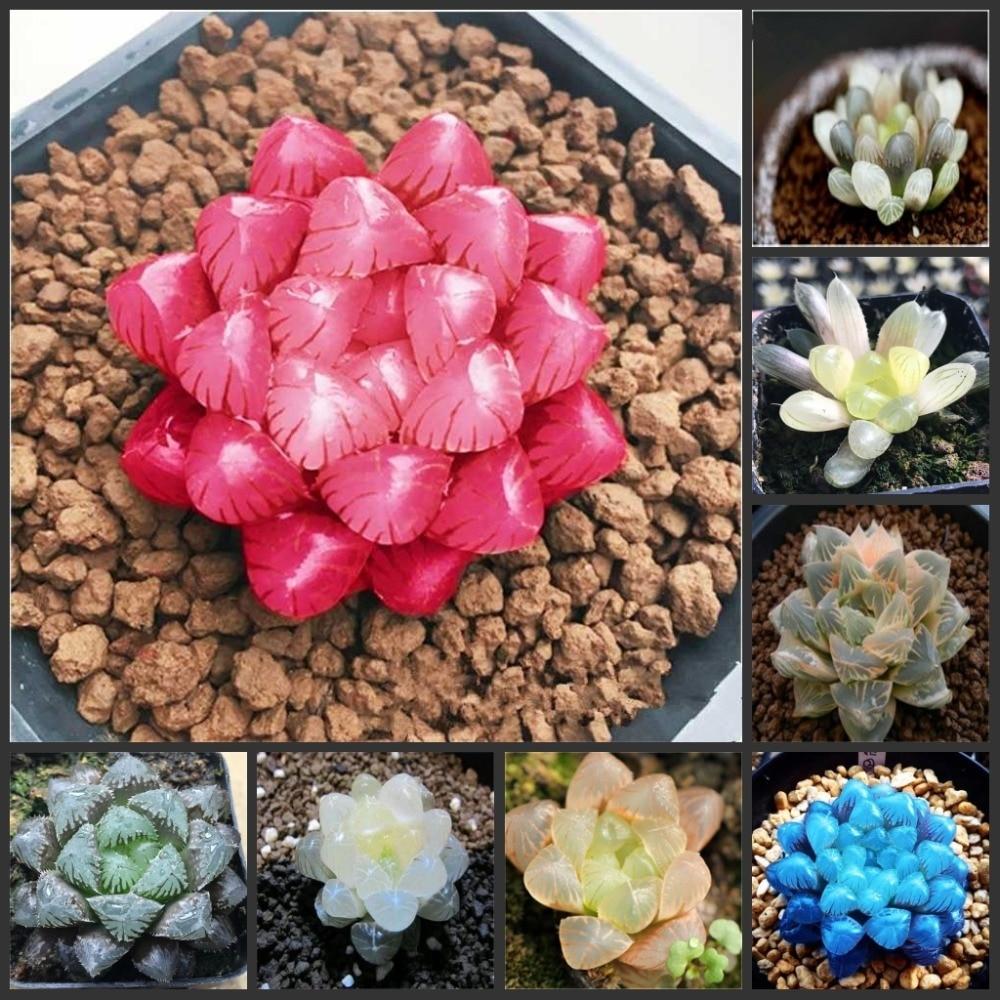 50pcs Haworthia Cooperi Baker - Yulu - Rose Flower SS