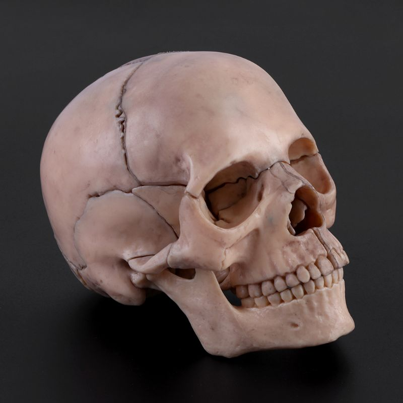 15pcs/set 4D Disassembled Skull Anatomical Model Detachable Medical Teaching Tool