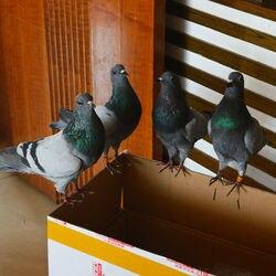 1 Uds. real taxidermia euroasiática pigeon Columba espécimen Enseñanza/Decoración