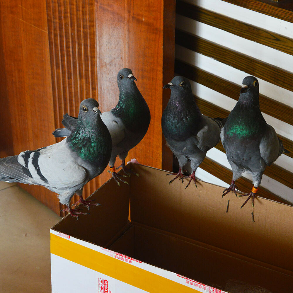 1Pcs real Taxidermy Eurasian pigeon Columba specimen Teaching / Decoration