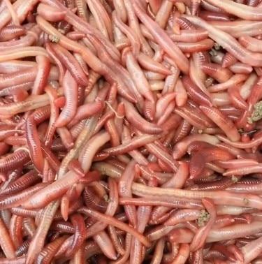 Live Earthworms hong qiu yin Bait Seedlings Fishing Earthworms Turtle Breeding Carp Wild Fish Fresh Food in Bulk Package Live|Floodlights| |  - title=