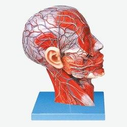 Cabeza anatómico facial Superficial humana con nervios vasculares unidos a la sección sagital media del modelo de Anatomía de la cabeza