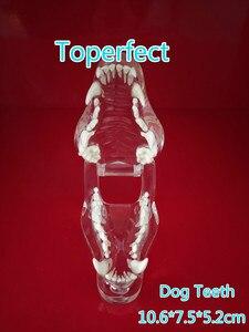 Image 1 - Transparante Hars Hond Anatomische Tanden Onderwijs Demonstratie Veterinaire Dier Skeleton Crystal Specimen Gebit Model