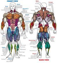 Sistema humano-corpo anatômico gráfico muscular skeletal seda cartaz decorativo pintura de parede 24x36inch