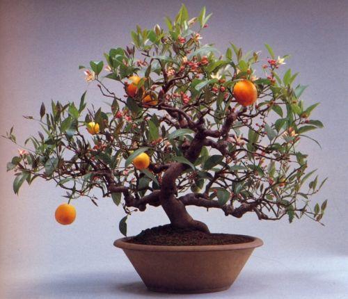 Bonsai  Dwarf Standing Calamondin Citrus Orange Tree  Indoor  In Pot Garden Decoration  30pcs A029