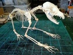 1 Uds Vulpes vulpes zorro rojo, zorro plateado, Cráneo de zorro cruzado espécimen completo esqueleto animal