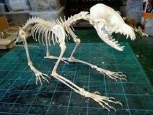 1Pcs Vulpes vulpes Red Fox, Silver Fox, Cross Fox Skull complete animal skeleton specimen