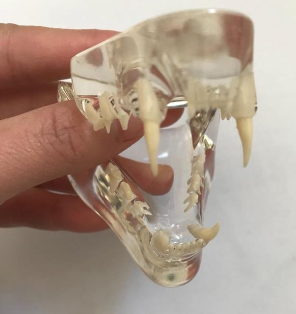 Anatomical Felidae Pathology Jaw Model Medical Cat Mouth and Teeth Anatomy Clear Feline esqueleto anatomia