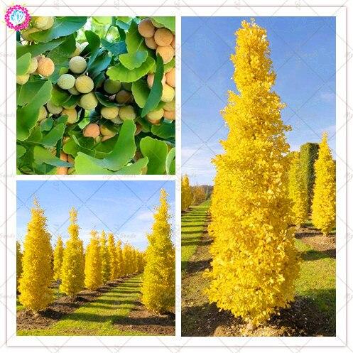 5Pcs/BagGold Ginkgo Biloba Bonsai Tree Plant Beautiful Foliage Plants Perennial Unique Species Of Maidenhair Tree Bonsai