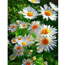 5D diy Diamond Painting daisy Flower Cross Stitch Mosaic Picture Full Squar Rhinestone Embroidery Home decor Sale