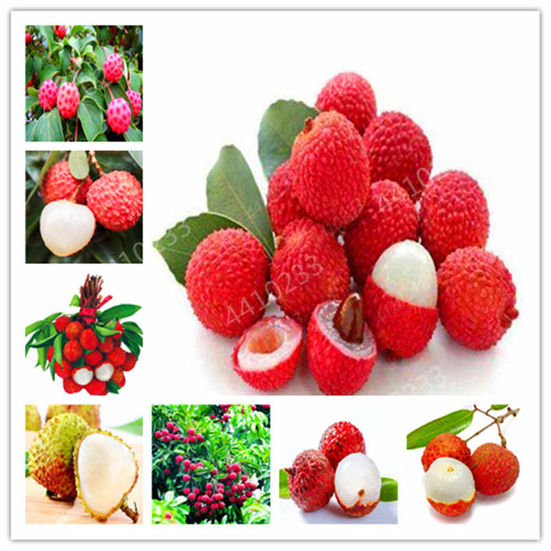 100%true Lychee bonsai tropical fruit tree plant in Bonsai,red and yellow litchi plant for Home garden mix 5pcs / pack