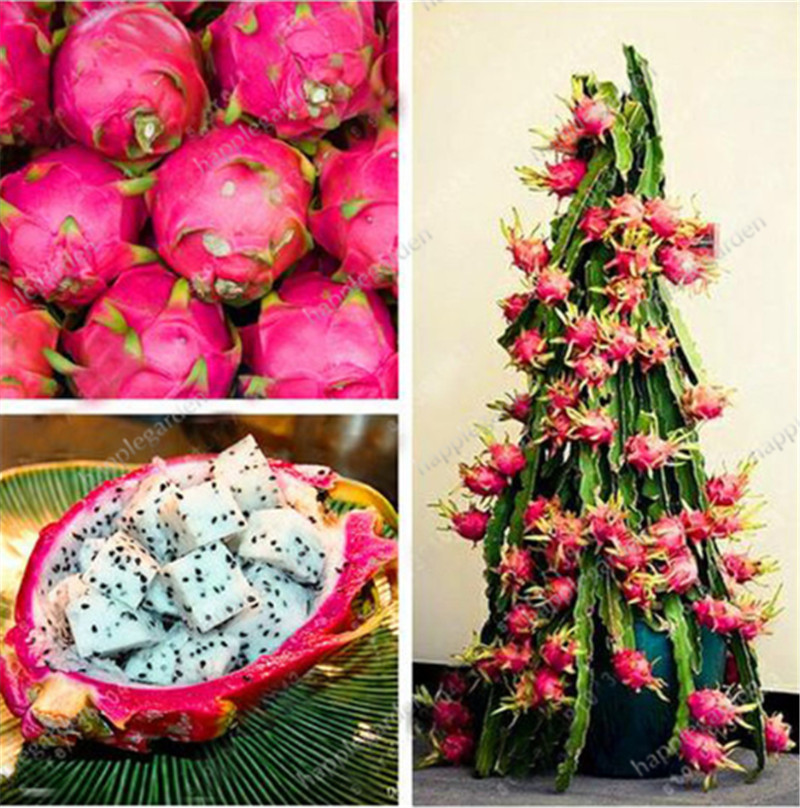 100pcs 100% True Dragon Fruit Bonsai White And Red Pitaya Seedsplants For Home Garden Non-ogm Fruit Tree Bonsai Or Potted Plants