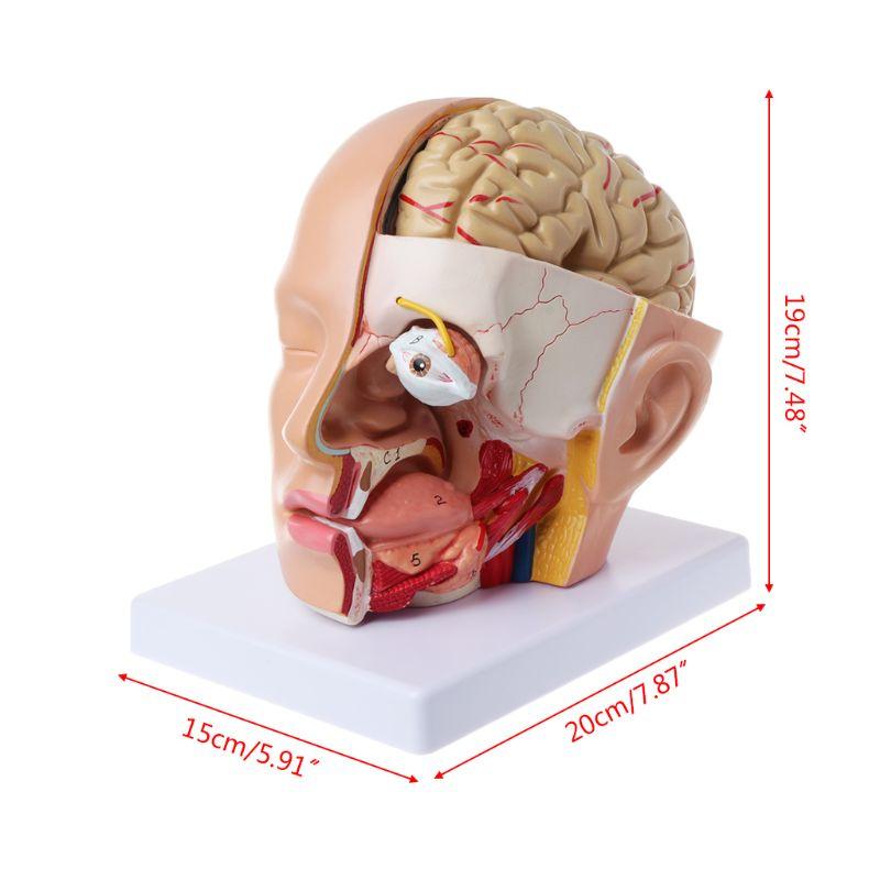 Modèle anatomique de l'artère cérébrale de cerveau de crâne de tête d'anatomie humaine pour enseigner 72XF