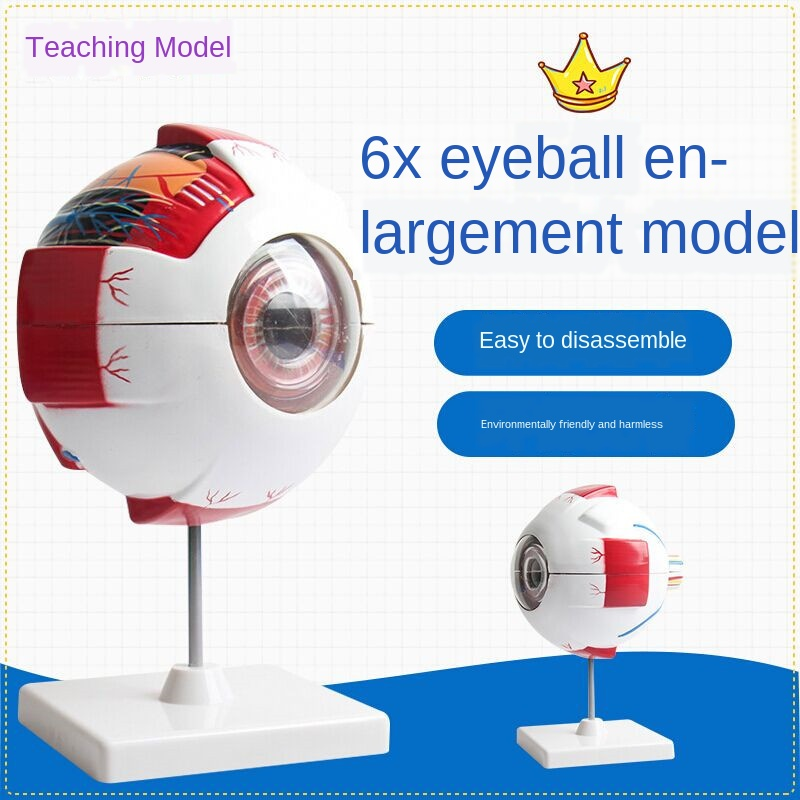 Human Eye Model Eye Enlargement Model Eye Anatomical Model of the Human Eye Teaching Model Medical