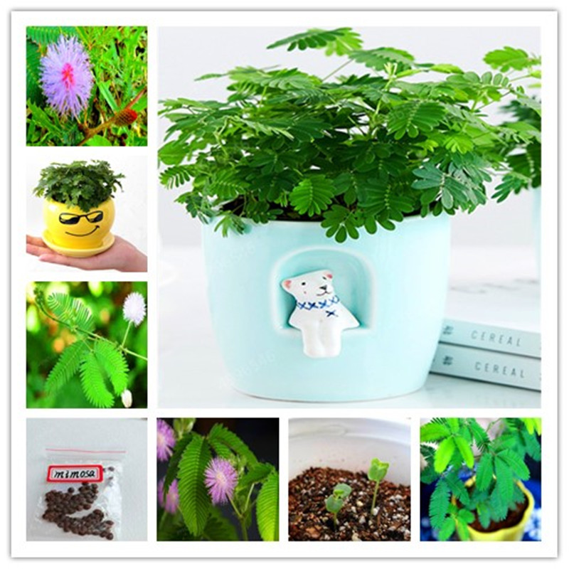 50 Pcs/bag Mimosa Pudica Linn Bashful Grass Flores Foliage Mimosa Pudica Sensitive Bonsai Plant Home Garden Free Shipping