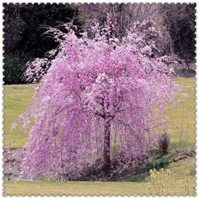 10 Pcs Bonsai Tree Japanese Sakura Plant Rare Japanese Cherry Blossoms Flowers Plant In Bonsai,Pink Prunus Serrulata For Sale