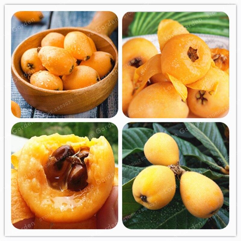 5 Pcs Loquat Fruit Tree Plant Eriobotrya Japonica Bush Tucker Chinese Bonsai Tree Eriobotrya Japonica Sweet Taste Nutrition