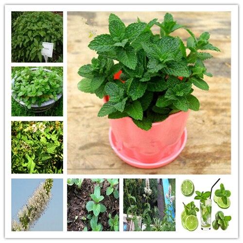 100 Pcs Rare Vegetable Mint SeedsPlant Bonsai Peppermint Spearmint Field Mint Catnip Semillas De Flores Home Garden Adornment
