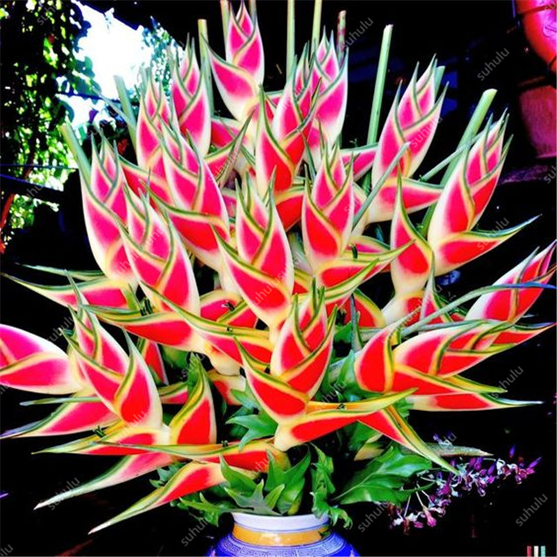 100 Pcs/bag Exotic Heliconia Rare Succulent Perennial Herb Bonsai Plants Pot Flower Indoor For Garden Flore Pot,DIY Home Garden