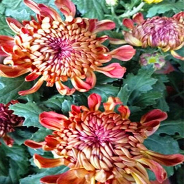 Plant Flower Bath Salts Colorful Peony Chrysanthemum Essence 100Pcs XZZ-138 5