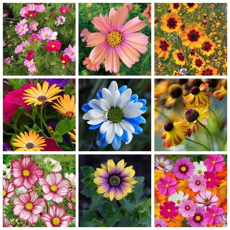 100 Pcs/ Bag Heirloom Cosmos Bipinnatus Outdoor & Indoor Bonsai Potted Chrysanthemum Flower Plant Garden Planta Fast Growing