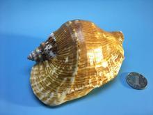Natural  conch Decoration wedding scenery sea snails sea shells decoration home white shells large seashell mixed seashells