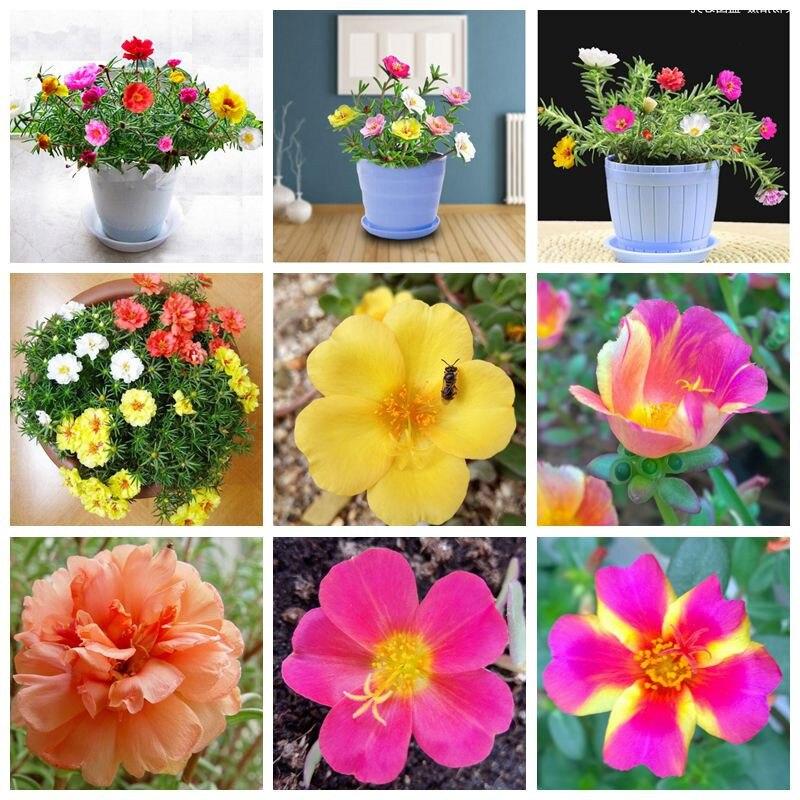 300 Pcs Mixed Color Moss-Rose Purslane Double Bonsai Flower For Planting (Portulaca Grandiflora)Garden Tolerant Easy Growing