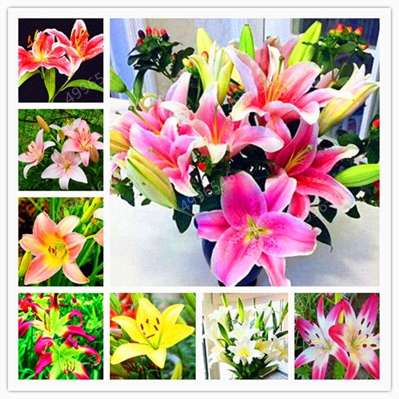 100pcs Lily Bulbs ,Lilium Bulbs, Flower Bulbs Perennials,Lelies Exotic Indoor Plants Flower Bulbs Garden Bulbos De Flores