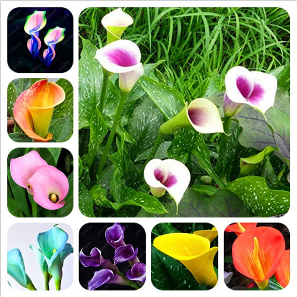 100 Pieces Calla Lily Bonsai Room Flower Calla Lily Aethiopica Outdoor And Indoor Indoor Potted Home Garden Potted
