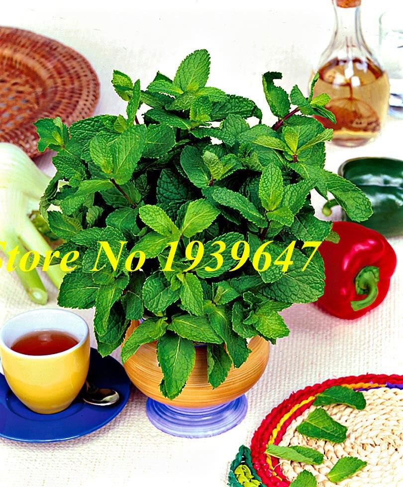 100Pcs Mint Mint Bonsai Edible Catnip Plant Flower Bonsai Vegetable Herb Bonsai For Home Garden Easy Grow