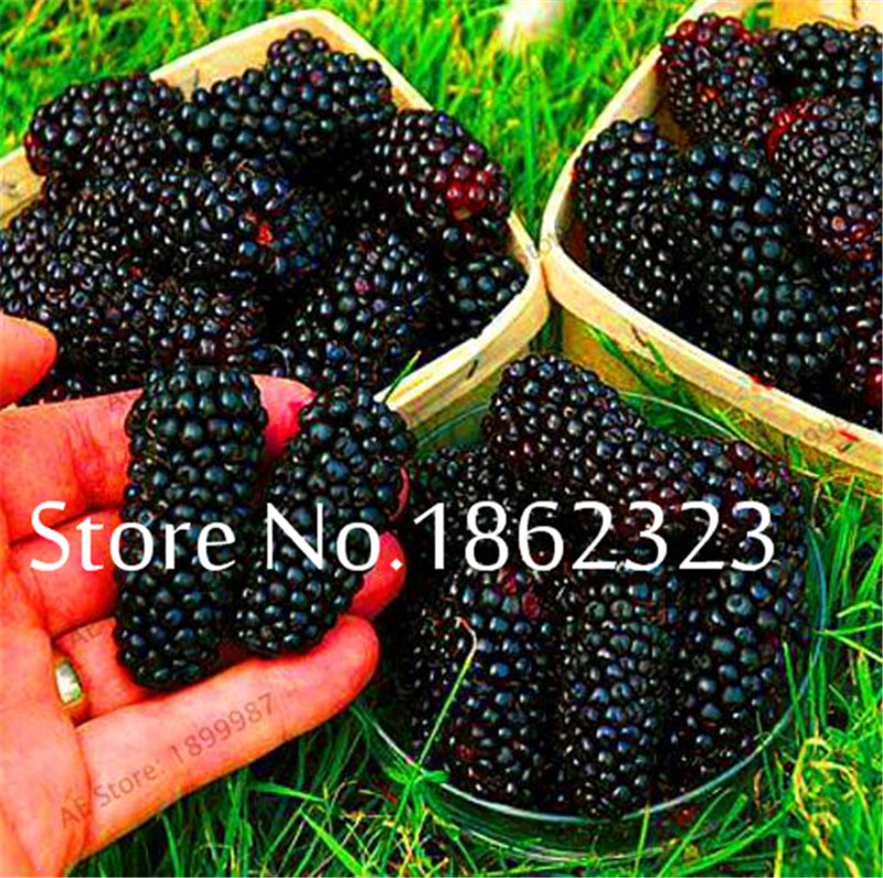 200 Pcs Heirloom Blackberry Fruit Sweet Black Berry Giant Blackberries Triple Crown Blackberry Black Mulberry Bonsai Fruit