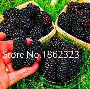 200 pcs Heirloom Blackberry Fruit Sweet Black Berry Giant Blackberries Triple Crown Blackberry Black Mulberry Bonsai Fruit