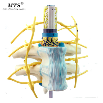 цена на Genuine thoracic spine Medullary spinal nerve sympathetic trunk model Human spine model anatomy system medical teaching