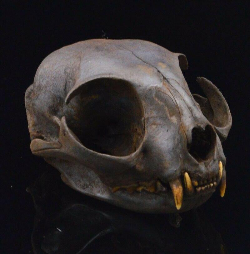1pcs Real Felinae Cat Animal Skull Specimen - Adult / Handmade, Dyeing Brown